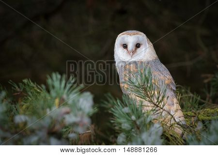 A female barn owl perched in a tree and looking directly forward towards the camera