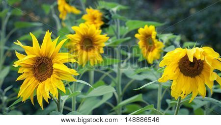 Sunflower Oil Production, Sunflower Head, Sunflowers Blooming Closeup On Sunflower Field, Overcast, Detail Of Sunflower, Agricultural Business, Summer farming, Regrowing Raw Materials, Food Production