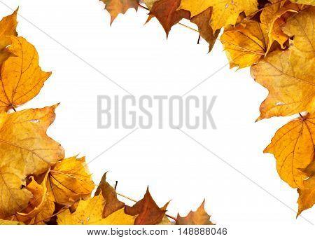 Autumn Yellow Maple Leafs