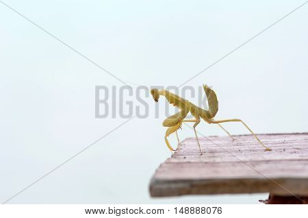 Mantodea grasshopper on wood table . .