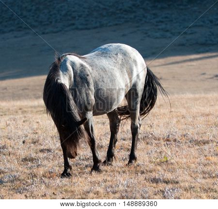 Wild Horse Blue Roan colored Band Stallion sunlit on Sykes Ridge above Teacup Bowl in the Pryor Mountains in Montana - Wyoming USA.