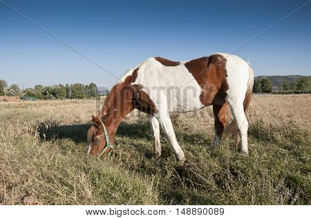Pinto horse in an agrarian landscape in Ciudad Real Province Spain