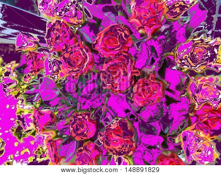 Booker pink and yellow roses on a purple background