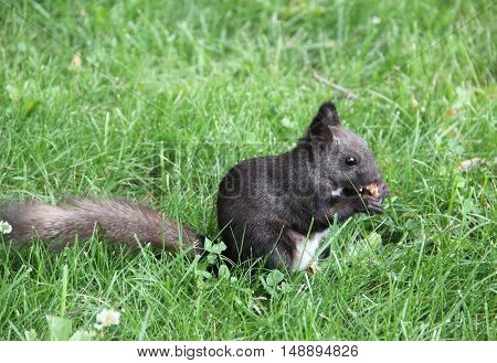 Fluffy squirrel on the green grass