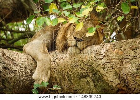 Detailed view of Lion with mane taking a nap on a tree branch