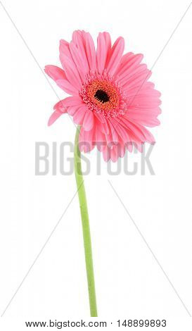 Pink flower, isolated on white