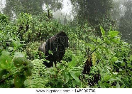 Profile of silverback mountain gorilla in the misty wild forest