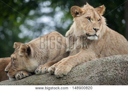 Lioness and juvenile male lion (Panthera leo). Wildlife animal.