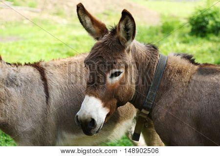 Donkeys on green grass background
