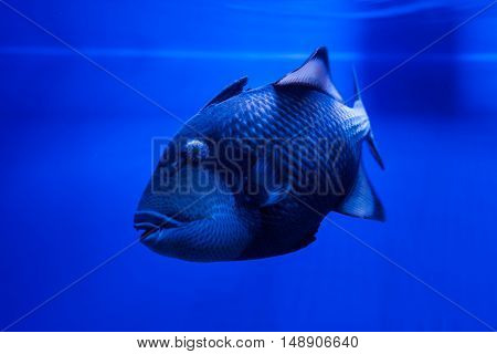Titan Triggerfish floats in the water in the sea.