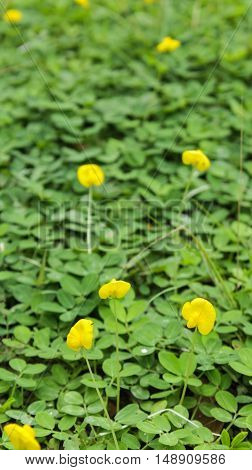 Yellow flower of Arachis pintoi or pinto peanut and blurred green leaf background