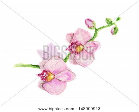 Isolated watercolor sakura flower on white background. Japanese flower. Beautiful and gentle flower. Romantic decoration.