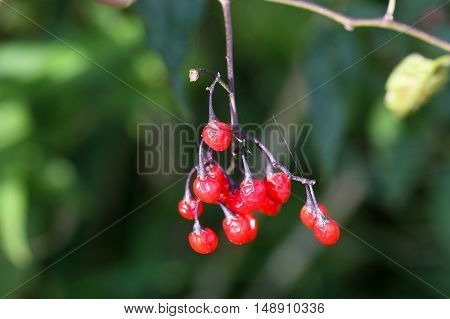 Berries of a bittersweet nightshade (Solanum dulcamara)