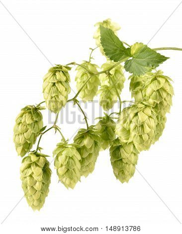 Hops Isolated On White Background.
