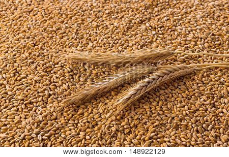 Processed organic golden wheat grains as agricultural background. Lots of seeds texture and one ripe wheat ear on it, top view. Harvest and farming, bread making business.