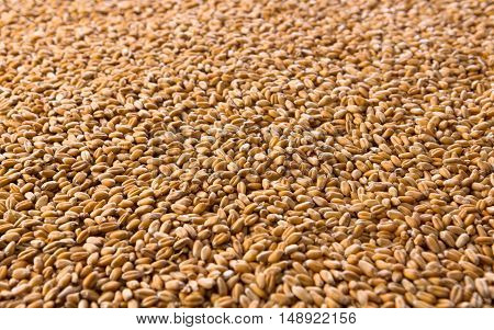 Processed organic golden wheat grains texture as agricultural background. Lots of seeds closeup. Harvest and farming, bread making business.