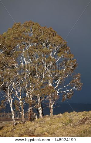 Large Eucalypt trees in rural Tasmania with dark clouds in the background