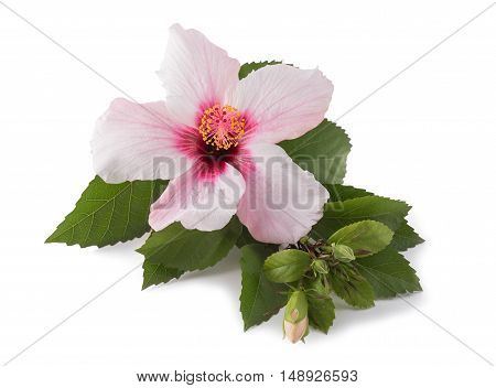 Pink hibiscus isolated on a white background