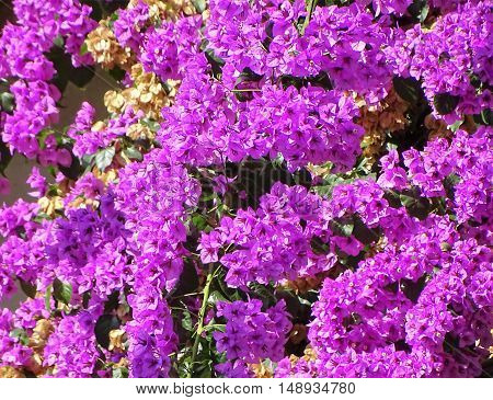 Bowcanville_  ever green_ purple flowers_ bigflowers_ - Climate resistent _
