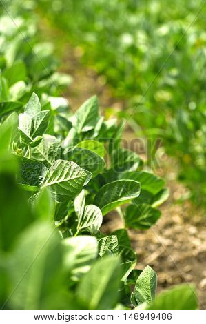Soybean crops in field, soya bean growing on plantation