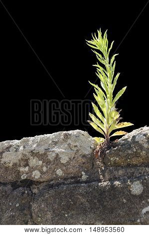 sunny illuminated plant on a stone wall in black back
