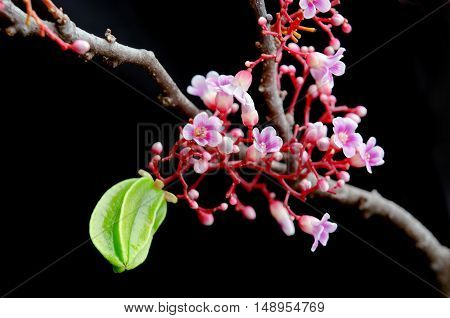 Star Apple Fruit Hanging With Flower Over Black Background