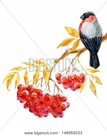 Beautiful image with nice bullfinch on the branch of ashberry