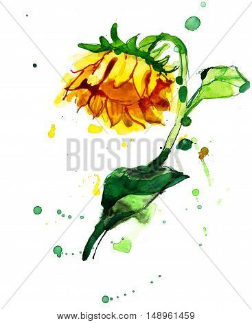 Freehand painted yellow sunflower watercolor picture isolated on white
