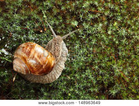Garden Snail On Moss