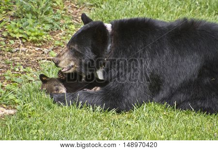 A mama black bear lies on a neighborhood lawn cradling her small cub on a sunny spring day