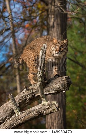 Bobcat (Lynx rufus) Glares Out From Branch - captive animal