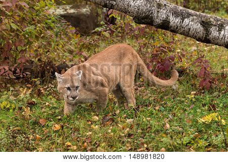Adult Male Cougar (Puma concolor) Looks Right in Grass - captive animal