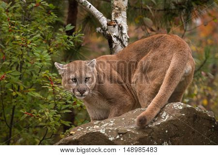 Adult Male Cougar (Puma concolor) Turns Behind Rock - captive animal