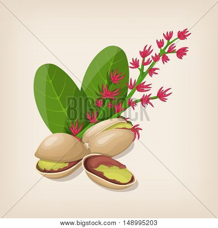 Pistachio nut in shell, flower and leaves. Vector illustration.