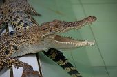 Animal photo image of young crocodiles sunbathing in croc farm crocodylus porosus poster