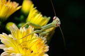 Photo of a Praying Mantis in a flowerbed with shallow depth of field. poster