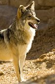 A Mexican Gray Wolf, the smallest species of North American Wolf poster