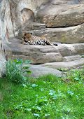 Leopard sleeping on stones in the zoo poster
