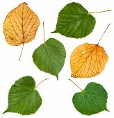 set from green and autumn yellow leaves of Tilia tree (lime tree linden) isolated on white background poster