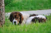 old sick dog lie and sleep on grass poster