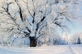 Winter nature. Winter forest landscape in early winter morning- deciduous frosty tree under winter snowfall and warm sunlight. Winter nature view with snowy winter forest - winter sunny landscape poster