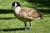 Canadian goose at Vasona Lake County Park. poster