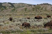 Bison on the open range in Wyoming poster
