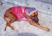 Dog dressed in a bright 4th Of July type costume. poster