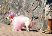 Dog dressed pretty pink costume for a Mardi Gras type parade. poster