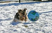 A yorky chases the world on snow. poster