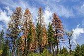 Standing dead: grove of conifer trees dying from drought stress and beetle kill poster
