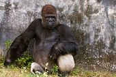 A female Western Lowland Gorilla sitting near a wall with a serious expression. poster