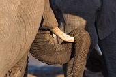 Close up and portrait of a huge African Elephant with proboscis lying over tusk. Wildlife Safari in the Kruger National Park the main travel destination in South Africa. poster