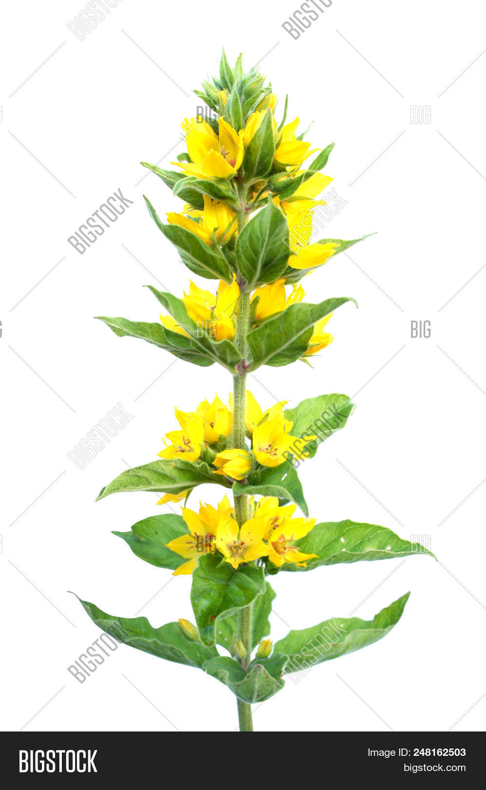 Yellow loosestrife image photo free trial bigstock yellow loosestrife flower isolated on a white background lysimachia mightylinksfo